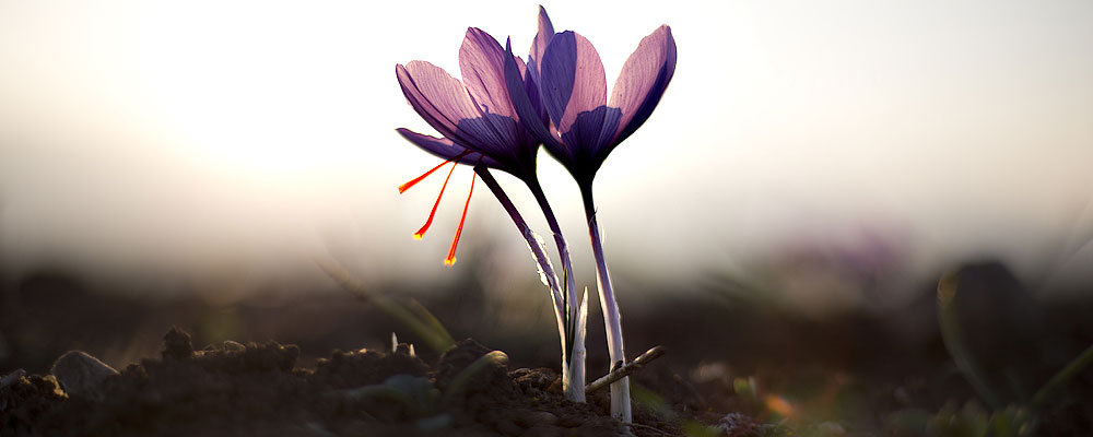 Five Ultimate Health Benefits of Saffron