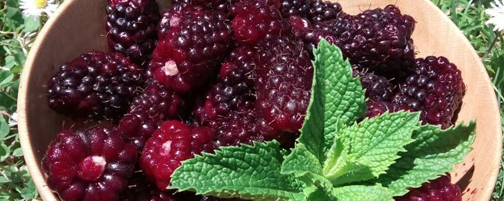 Top Ten Health Benefits of BlackBerry