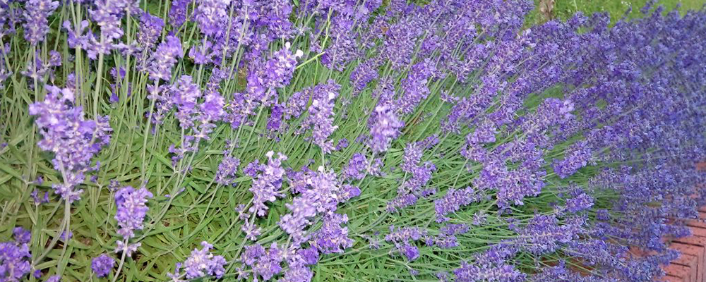 Potential Organic Health Benefits of Lavender