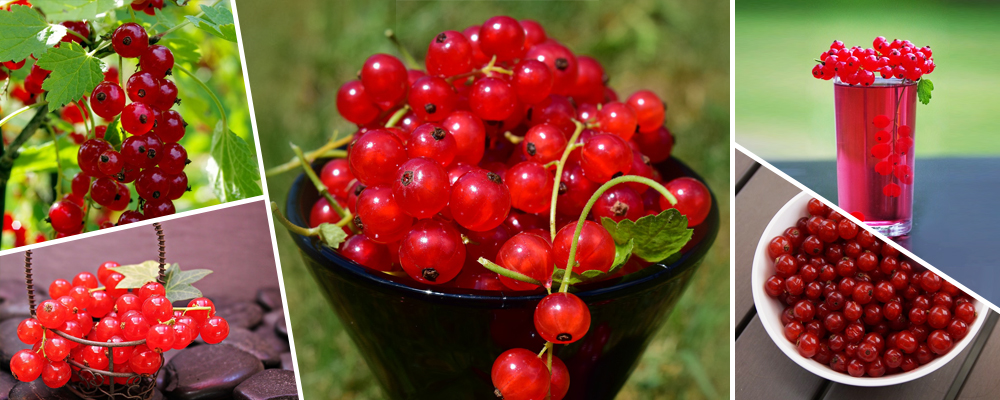 Red Currant Berries – The Whole Package of Vitamins