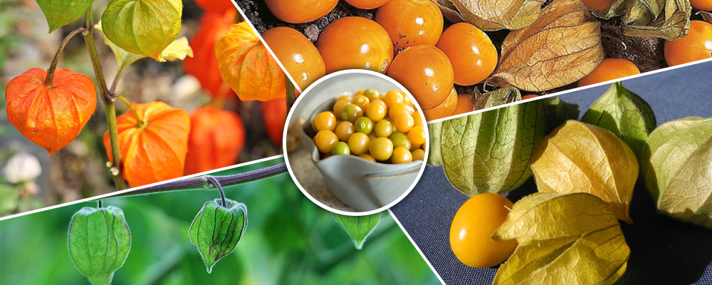 Medicinal and Health Benefits of Cape Gooseberry