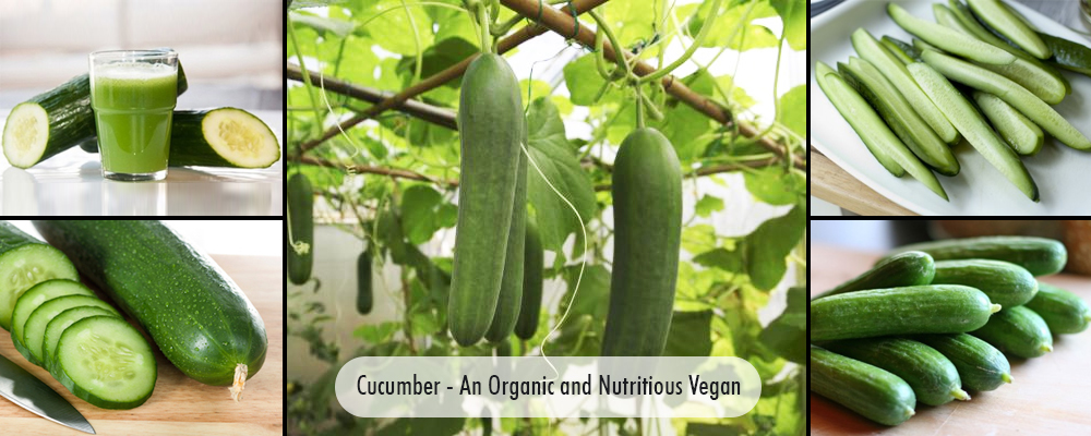 Cucumber- An Organic and Nutritious Vegetable