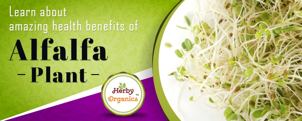 Alfalfa – the Superfood of our ancestors